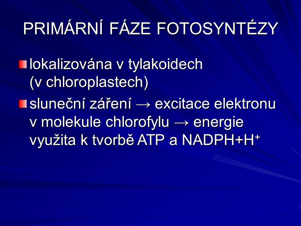 PRIMÁRNÍ FÁZE FOTOSYNTÉZY lokalizována v tylakoidech (v chloroplastech) sluneční záření → excitace elektronu v molekule chlorofylu → energie využita k tvorbě ATP a NADPH+H +