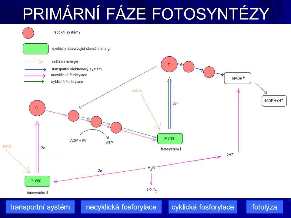 PRIMÁRNÍ FÁZE FOTOSYNTÉZY transportní systémnecyklická fosforylacecyklická fosforylacefotolýza