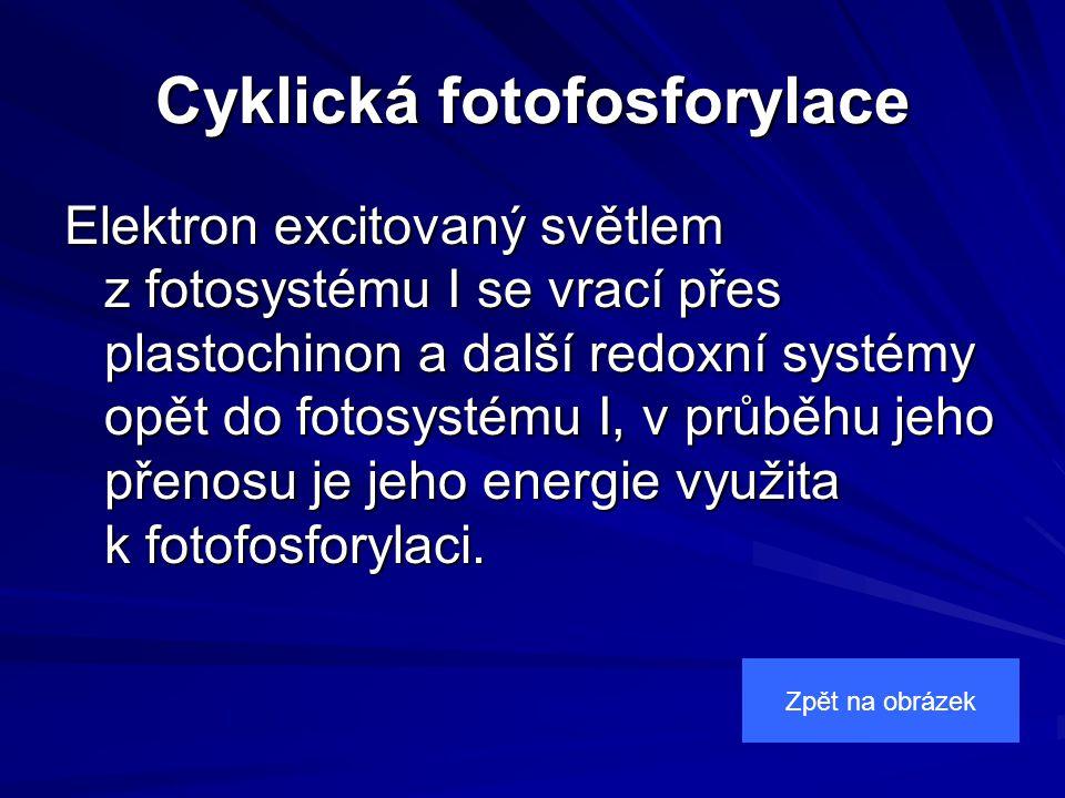 Cyklická fotofosforylace Elektron excitovaný světlem z fotosystému I se vrací přes plastochinon a další redoxní systémy opět do fotosystému I, v průběhu jeho přenosu je jeho energie využita k fotofosforylaci.