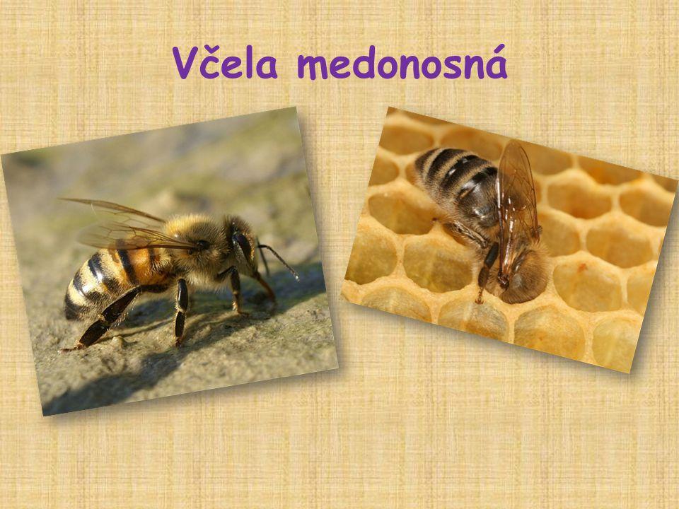  létající hmyz, důležitý opylovač  tělo rozděleno – hlava, hruď, zadeček  má 3 páry nohou, na posledním páru má košíčky, do který sbírá pyl  má žihadlo s háčkem – po bodnutí zemře  žije ve včelstvu – matka, dělnice, trubci  živí se nektarem a pylem  Produkty : med, vosk, mateří kašička,