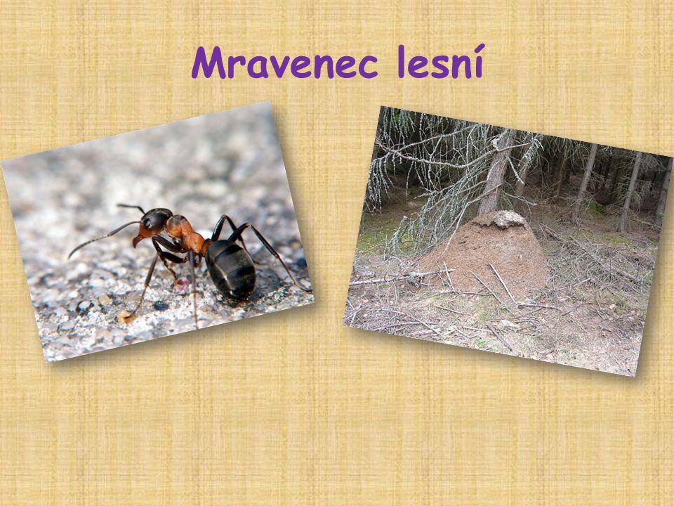  hmyz  tělo rozděleno – hlava, hruď, zadeček, má 3 páry nohou  barva – černohnědá  žije v mraveništi – z jehličí, vysoké až 50 cm  živí se mrtvým i živým hmyzem, šťávou z plodů je silný – unese náklad několikanásobně vyšší než jeho hmotnost