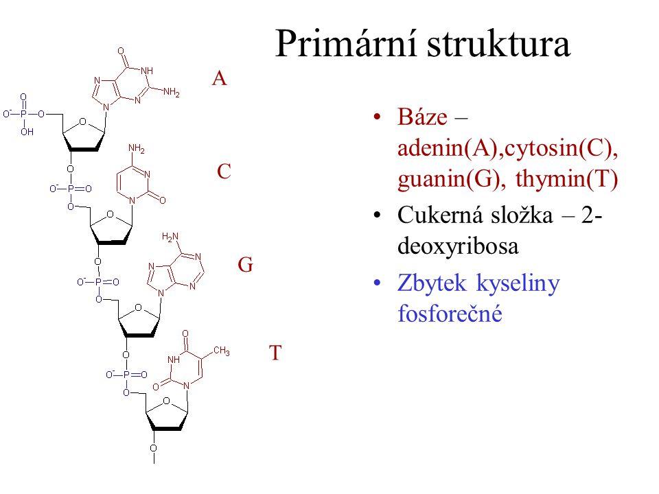 Primární struktura Báze – adenin(A),cytosin(C), guanin(G), thymin(T) Cukerná složka – 2- deoxyribosa Zbytek kyseliny fosforečné A C G T