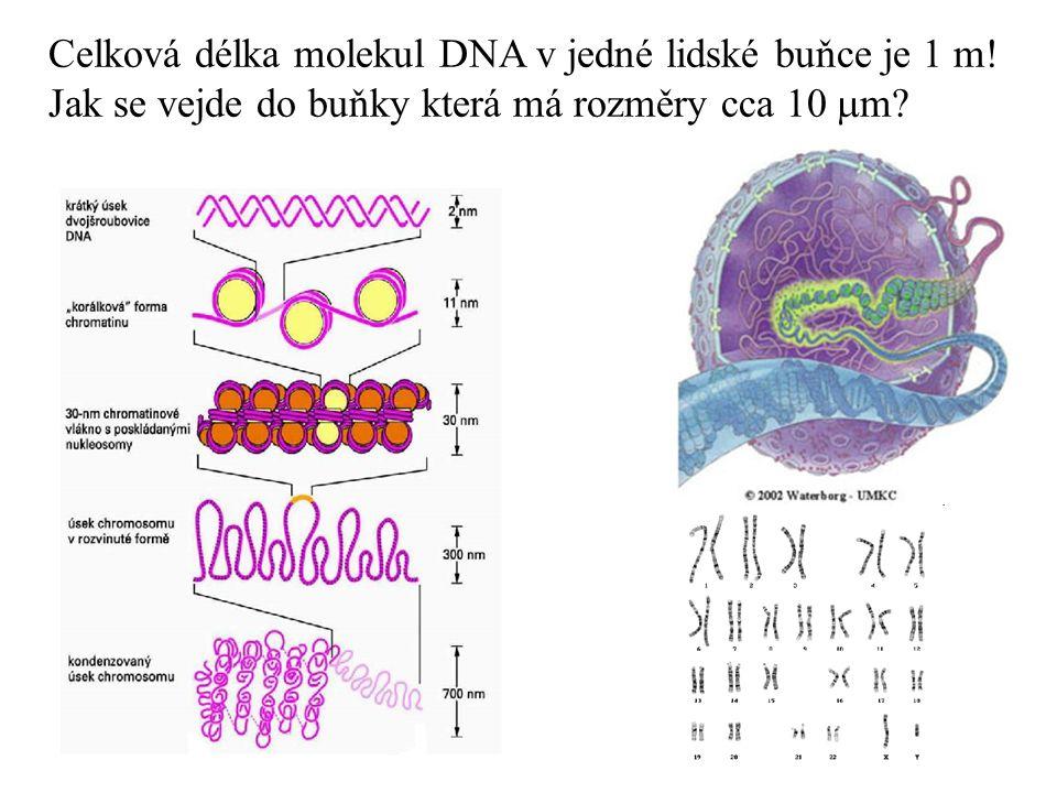 Celková délka molekul DNA v jedné lidské buňce je 1 m! Jak se vejde do buňky která má rozměry cca 10  m?