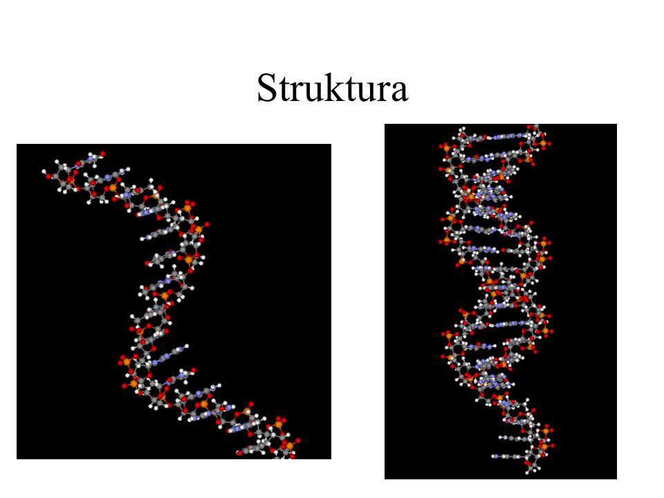 Nukleotid báze Cukerná složka Zbytek kyseliny fosforečné