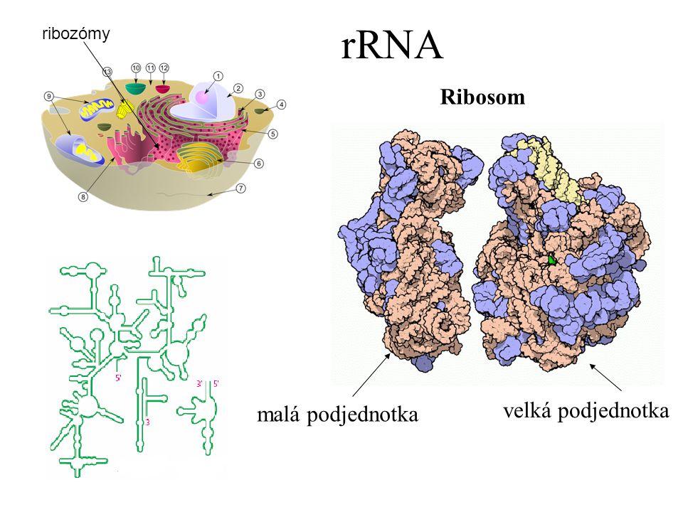 rRNA ribozómy malá podjednotka velká podjednotka Ribosom