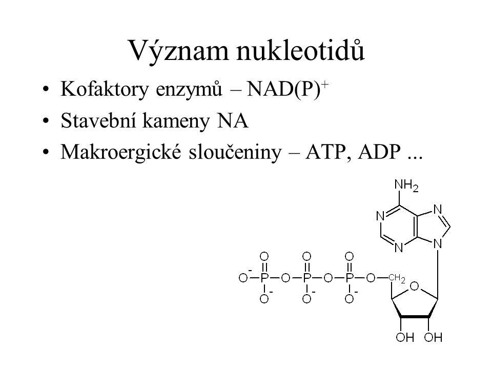 Význam nukleotidů Kofaktory enzymů – NAD(P) + Stavební kameny NA Makroergické sloučeniny – ATP, ADP...