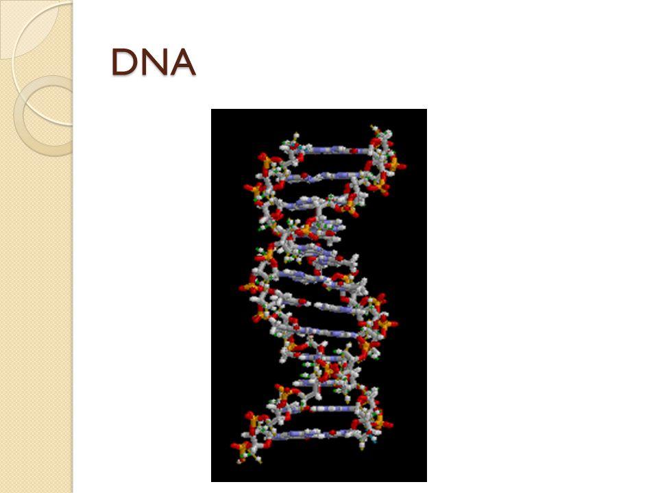 RNA ribonukleová kyselina slouží k přenosu genetické informace je jednovláknová její cukr je ribóza místo tyminu má uracil typy: mRNA – přepisuje se do ní DNA tRNA – přenáší AMK k ribozómům rRNA – je součástí ribozómů