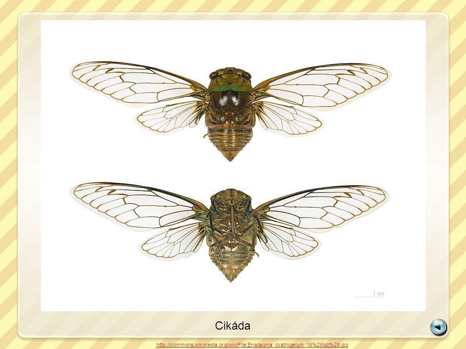 Cikáda http://commons.wikimedia.org/wiki/File:Enallagma_cyathigerum_16%28loz%29.jpg