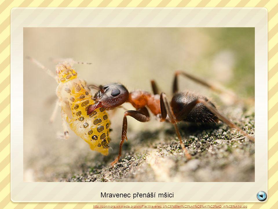 Mravenec přenáší mšici http://commons.wikimedia.org/wiki/File:Mravenec_p%C5%99en%C3%A1%C5%A1%C3%AD_m%C5%A1ici.jpg