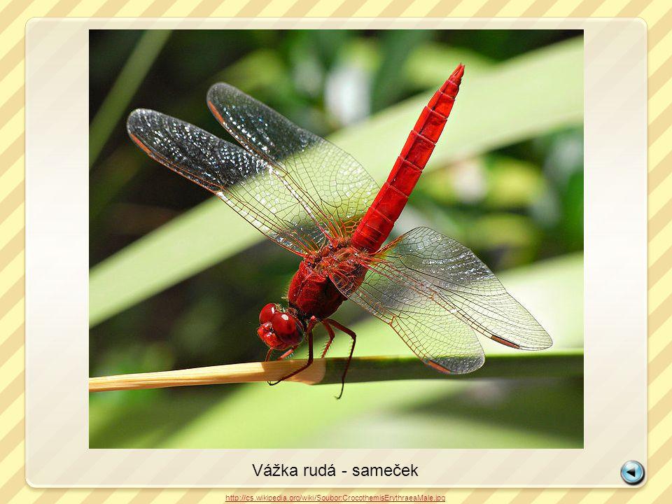 Vážka rudá - sameček http://cs.wikipedia.org/wiki/Soubor:CrocothemisErythraeaMale.jpg