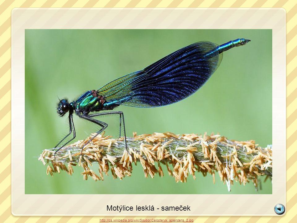 Motýlice lesklá - sameček http://cs.wikipedia.org/wiki/Soubor:Calopteryx_splendens_2.jpg