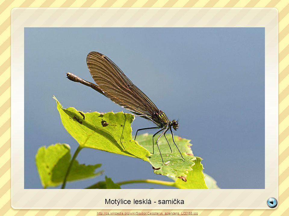 Motýlice lesklá - samička http://cs.wikipedia.org/wiki/Soubor:Calopteryx_splendens_LC0156.jpg