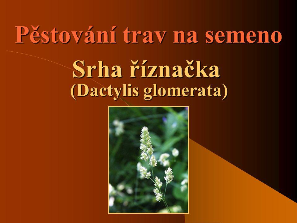 Pěstování trav na semeno Srha říznačka (Dactylis glomerata)