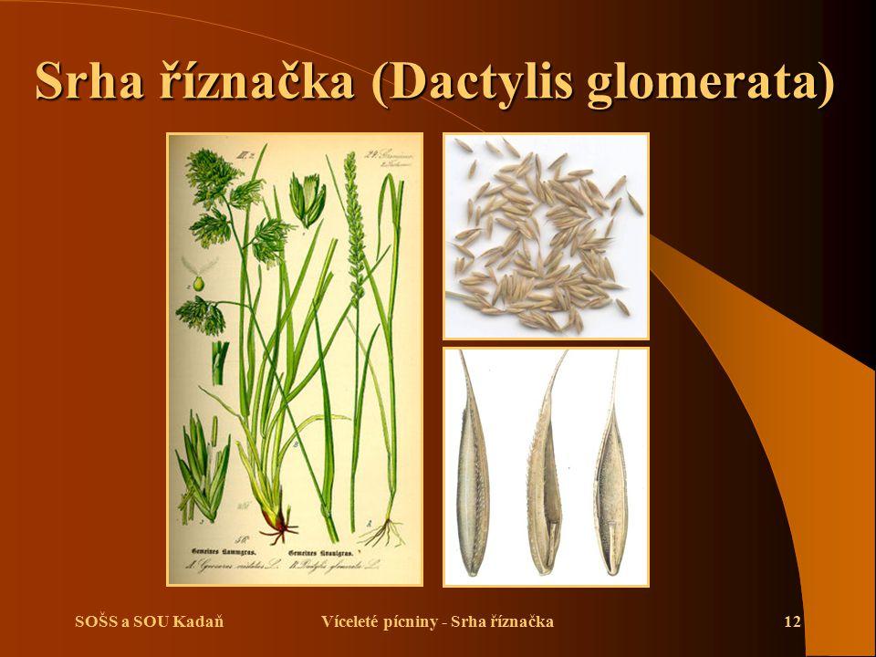 SOŠS a SOU KadaňVíceleté pícniny - Srha říznačka12 Srha říznačka (Dactylis glomerata) Srha říznačka (Dactylis glomerata)