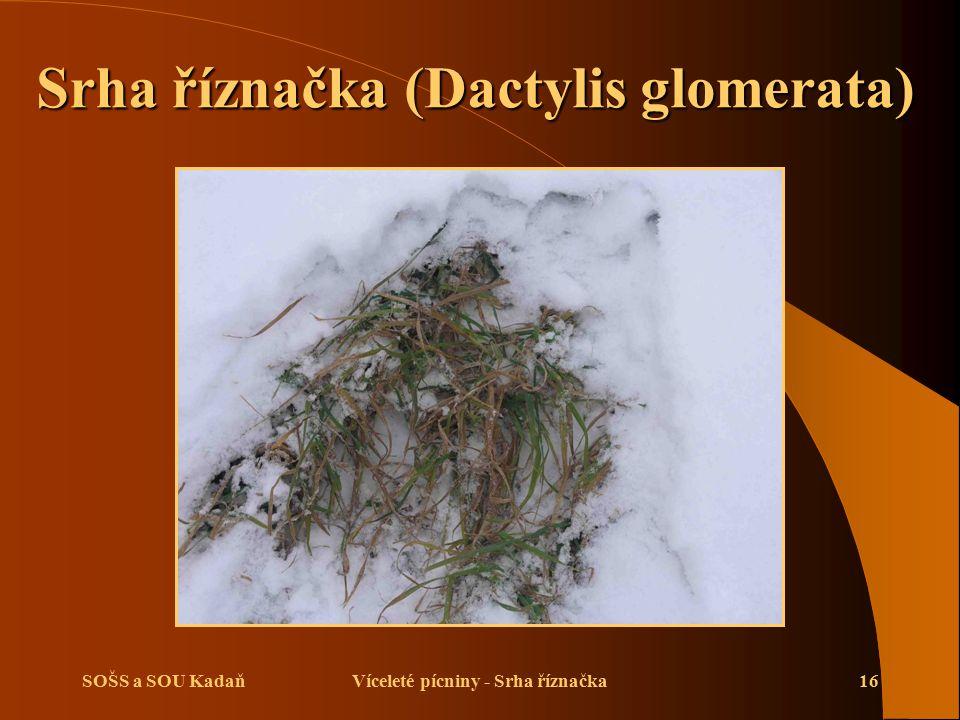 SOŠS a SOU KadaňVíceleté pícniny - Srha říznačka16 Srha říznačka (Dactylis glomerata) Srha říznačka (Dactylis glomerata)
