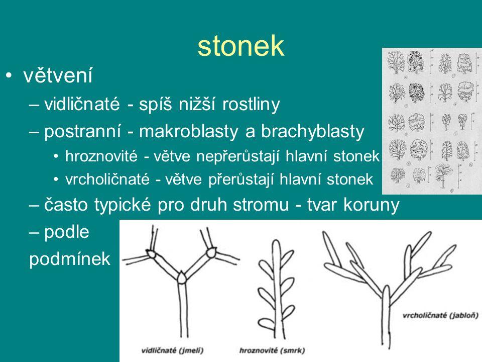 stonek větvení –vidličnaté - spíš nižší rostliny –postranní - makroblasty a brachyblasty hroznovité - větve nepřerůstají hlavní stonek vrcholičnaté - větve přerůstají hlavní stonek –často typické pro druh stromu - tvar koruny –podle podmínek