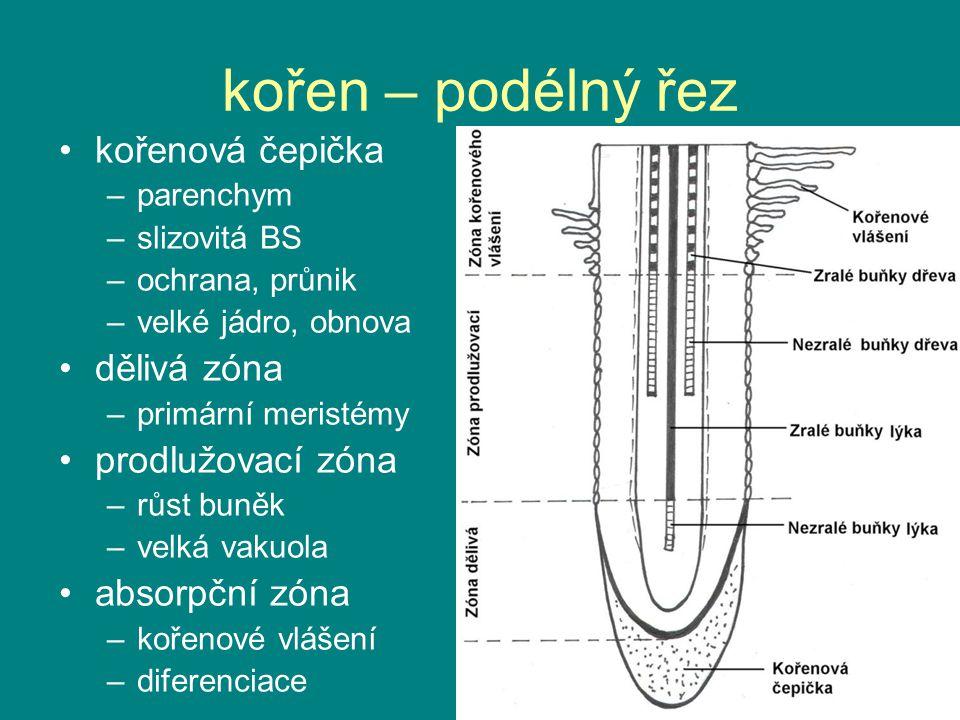 kořen – podélný řez kořenová čepička –parenchym –slizovitá BS –ochrana, průnik –velké jádro, obnova dělivá zóna –primární meristémy prodlužovací zóna –růst buněk –velká vakuola absorpční zóna –kořenové vlášení –diferenciace