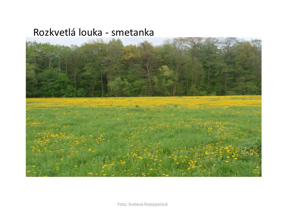 Rozkvetlá louka - smetanka Foto: Svatava Rozsypalová