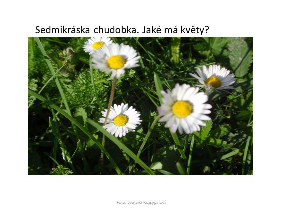 Sedmikráska chudobka. Jaké má květy?