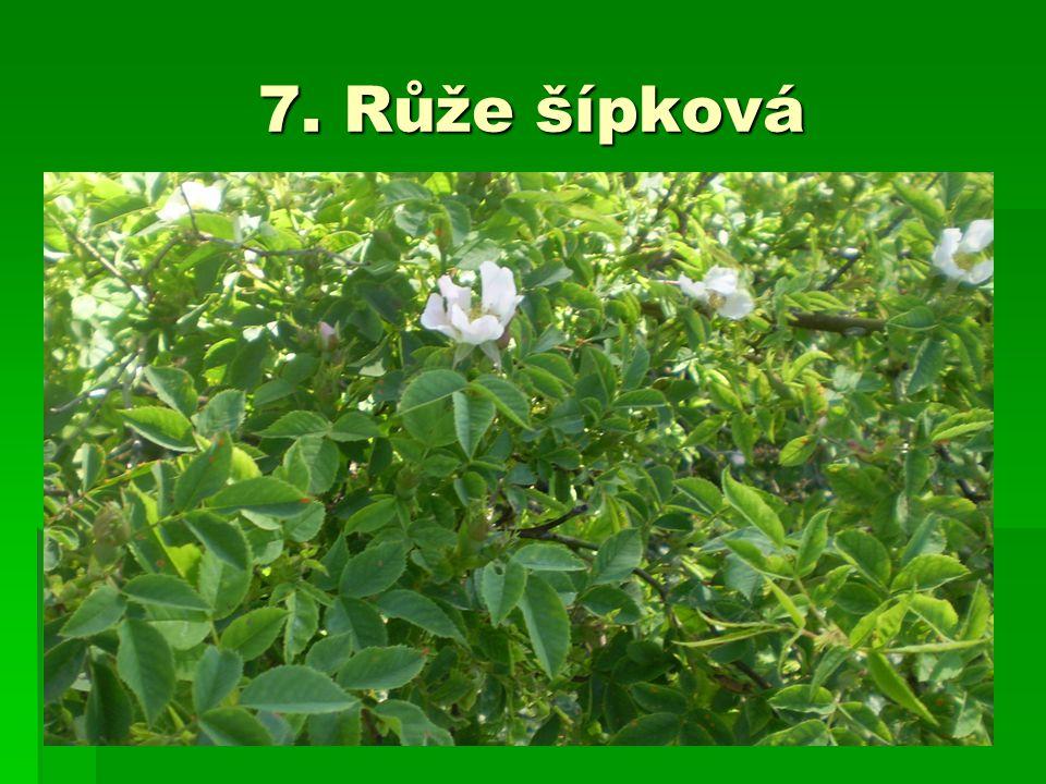 7. Růže šípková