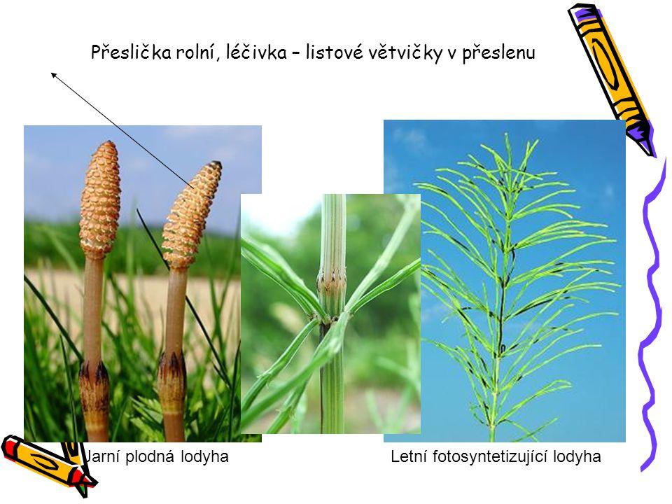 Přeslička rolní, léčivka – listové větvičky v přeslenu Jarní plodná lodyhaLetní fotosyntetizující lodyha
