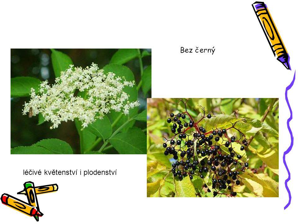 léčivé květenství i plodenství Bez černý