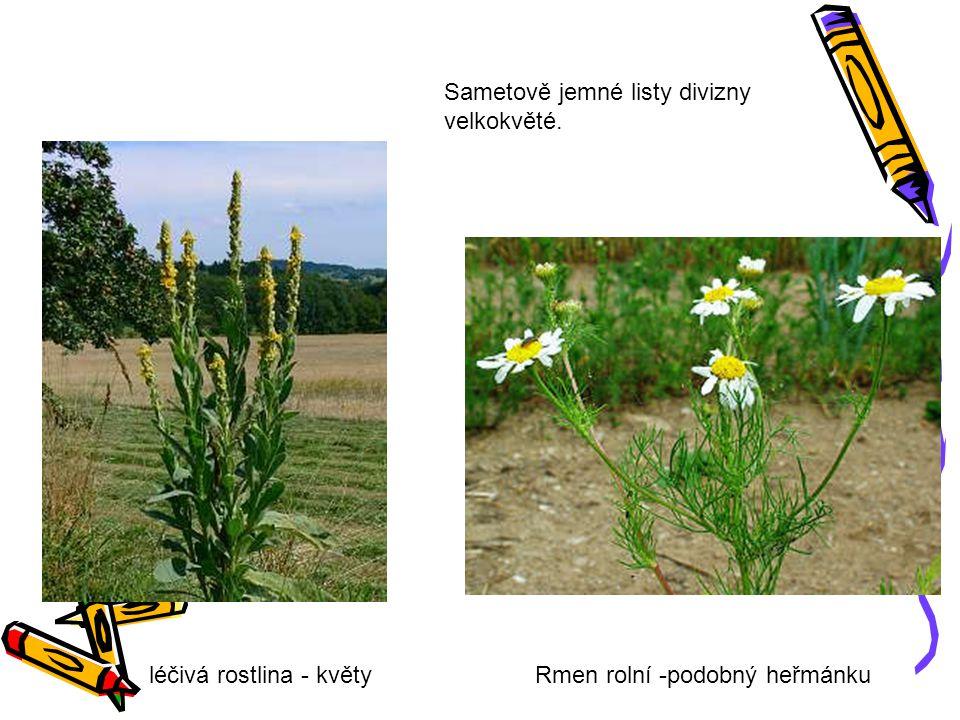 léčivá rostlina - květyRmen rolní -podobný heřmánku Sametově jemné listy divizny velkokvěté.