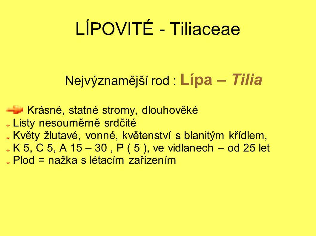 LÍPOVITÉ - Tiliaceae Nejvýznamější rod : Lípa – Tilia Krásné, statné stromy, dlouhověké Listy nesouměrně srdčité Květy žlutavé, vonné, květenství s blanitým křídlem, K 5, C 5, A 15 – 30, P ( 5 ), ve vidlanech – od 25 let Plod = nažka s létacím zařízením