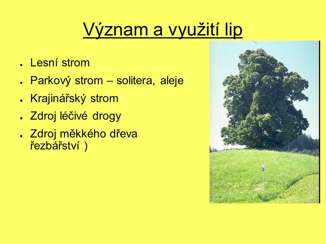 Význam a využití lip ● Lesní strom ● Parkový strom – solitera, aleje ● Krajinářský strom ● Zdroj léčivé drogy ● Zdroj měkkého dřeva ( řezbářství )