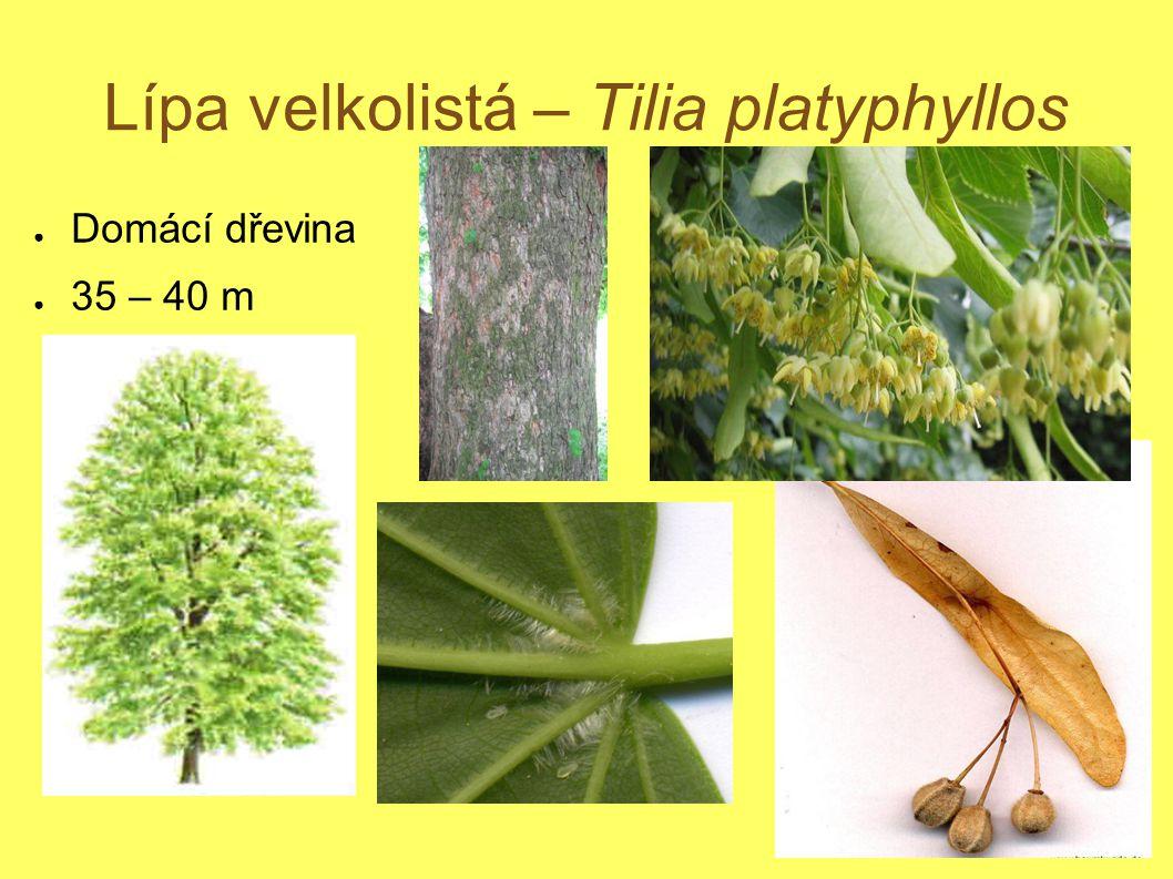 Lípa velkolistá – Tilia platyphyllos ● Domácí dřevina ● 35 – 40 m