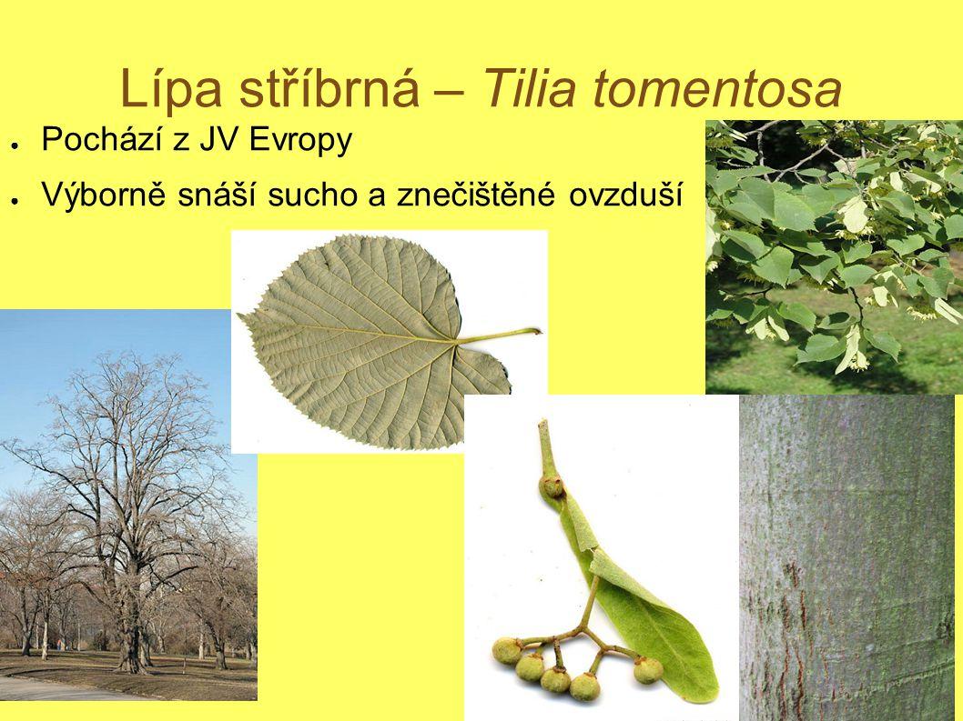 Lípa stříbrná – Tilia tomentosa ● Pochází z JV Evropy ● Výborně snáší sucho a znečištěné ovzduší