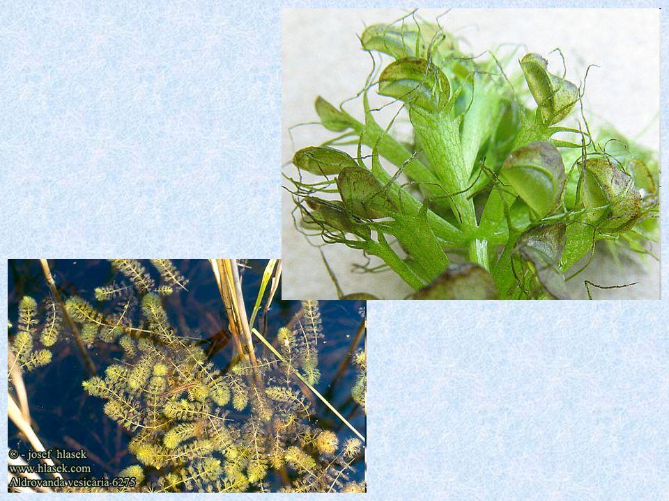 mucholapka podivná (Dionaea muscipula) pouze v Jižní Karolíně velký zájem sběratelů  úbytek přirozených stanovišť s oblibou pěstována
