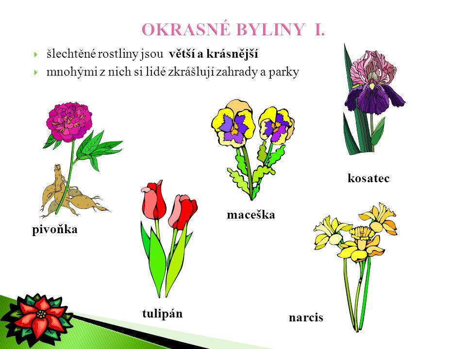  šlechtěné rostliny jsou větší a krásnější  mnohými z nich si lidé zkrášlují zahrady a parky pivoňka maceška kosatec tulipán narcis