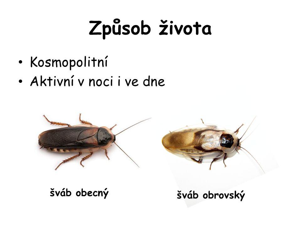 Způsob života Kosmopolitní Aktivní v noci i ve dne šváb obecný šváb obrovský
