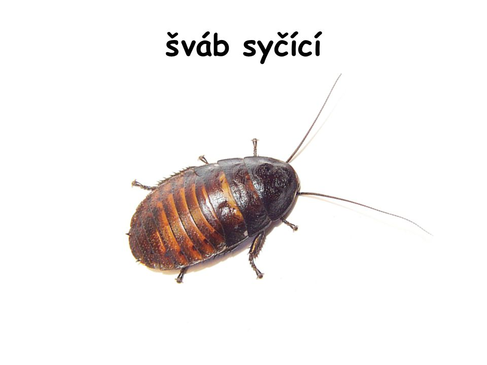 šváb syčící