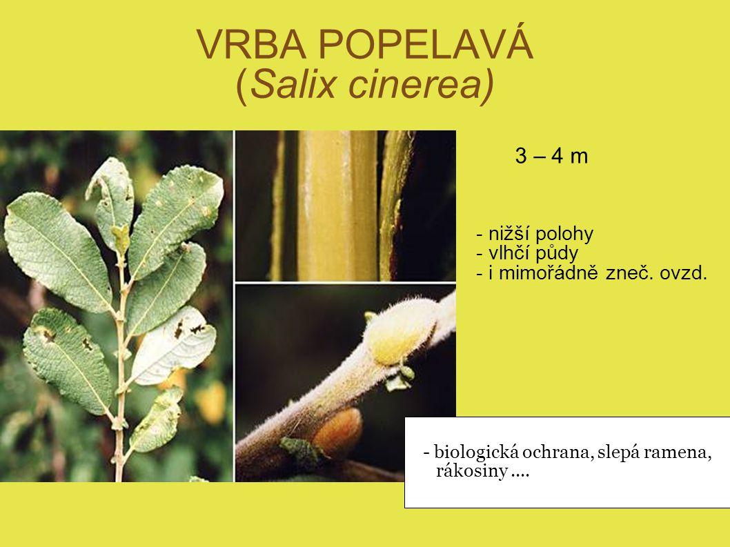 VRBA POPELAVÁ (Salix cinerea) 3 – 4 m - nižší polohy - vlhčí půdy - i mimořádně zneč. ovzd. - biologická ochrana, slepá ramena, rákosiny....