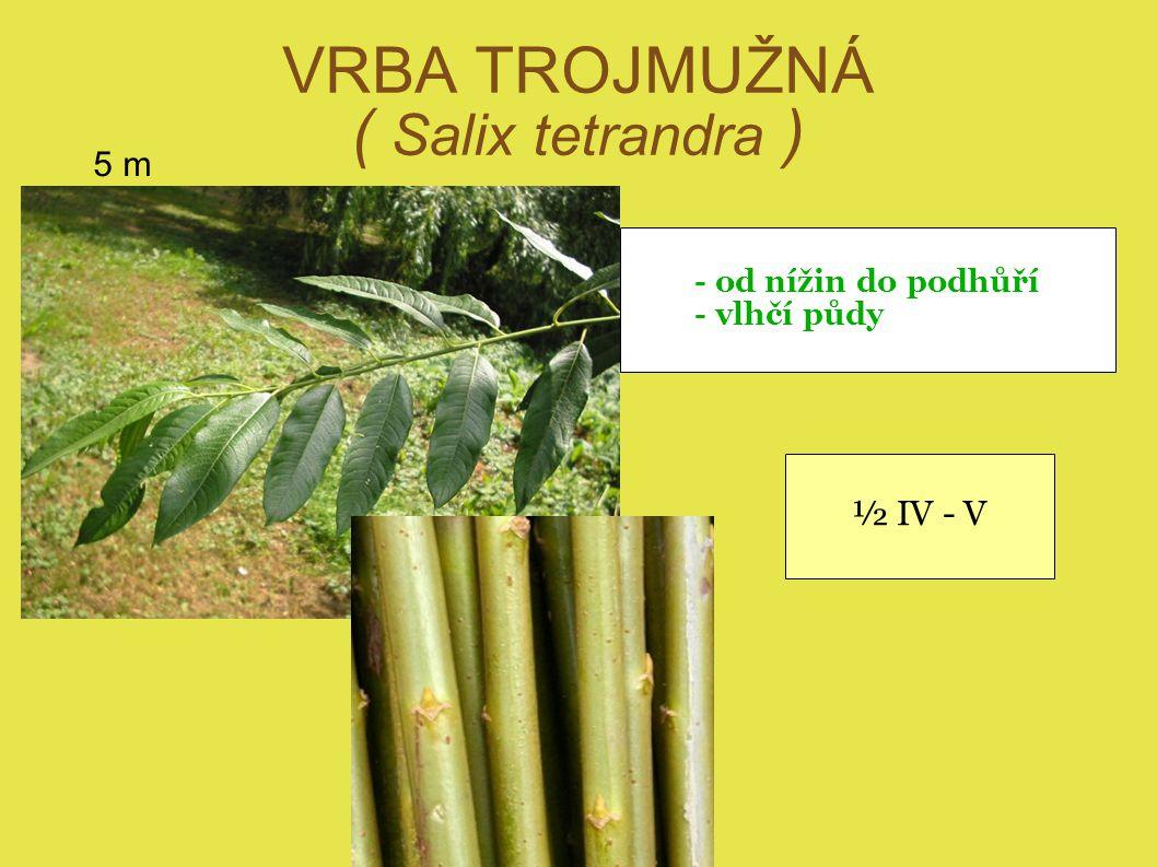 VRBA TROJMUŽNÁ ( Salix tetrandra ) 5 m - od nížin do podhůří - vlhčí půdy ½ IV - V