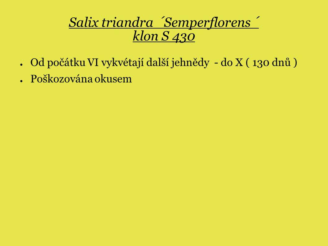 Salix triandra ´Semperflorens´ klon S 430 ● Od počátku VI vykvétají další jehnědy - do X ( 130 dnů ) ● Poškozována okusem