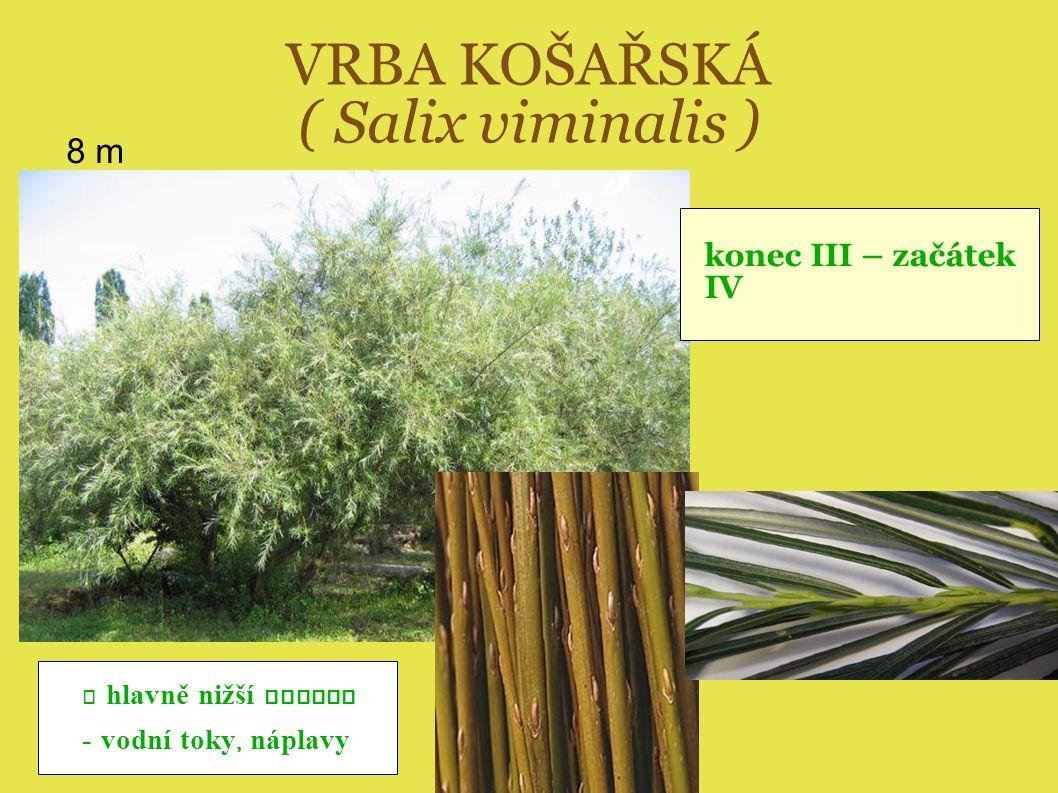 VRBA KOŠAŘSKÁ ( Salix viminalis ) 8 m - hlavně nižší polohy - vodní toky, náplavy konec III – začátek IV