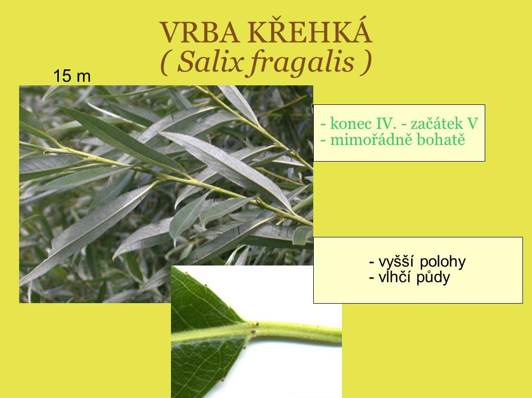 VRBA KŘEHKÁ ( Salix fragalis ) 15 m - vyšší polohy - vlhčí půdy - konec IV. - začátek V - mimořádně bohatě