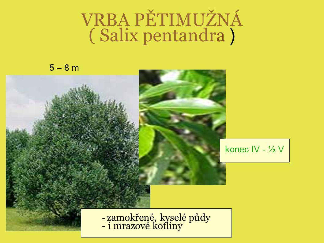 VRBA PĚTIMUŽNÁ ( Salix pentandra ) - zamokřené, kyselé půdy - i mrazové kotliny 5 – 8 m konec IV - ½ V