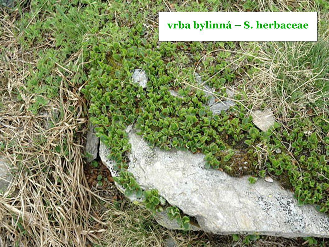 vrba bylinná – S. herbaceae