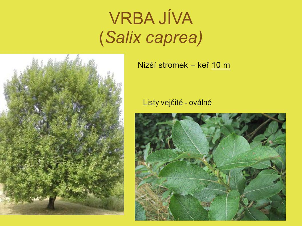 VRBA JÍVA (Salix caprea) Nizší stromek – keř 10 m Listy vejčité - oválné