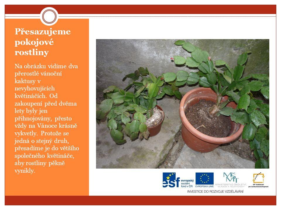 Přesazujeme pokojové rostliny Na obrázku vidíme dva přerostlé vánoční kaktusy v nevyhovujících květináčích.