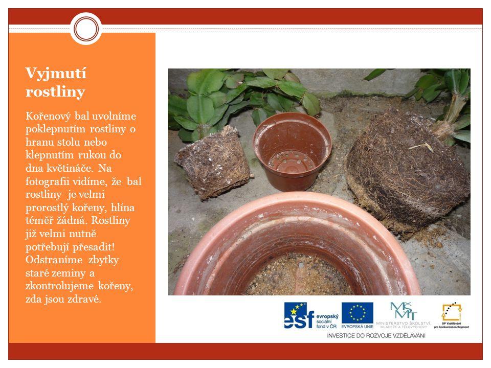 Vyjmutí rostliny Kořenový bal uvolníme poklepnutím rostliny o hranu stolu nebo klepnutím rukou do dna květináče.