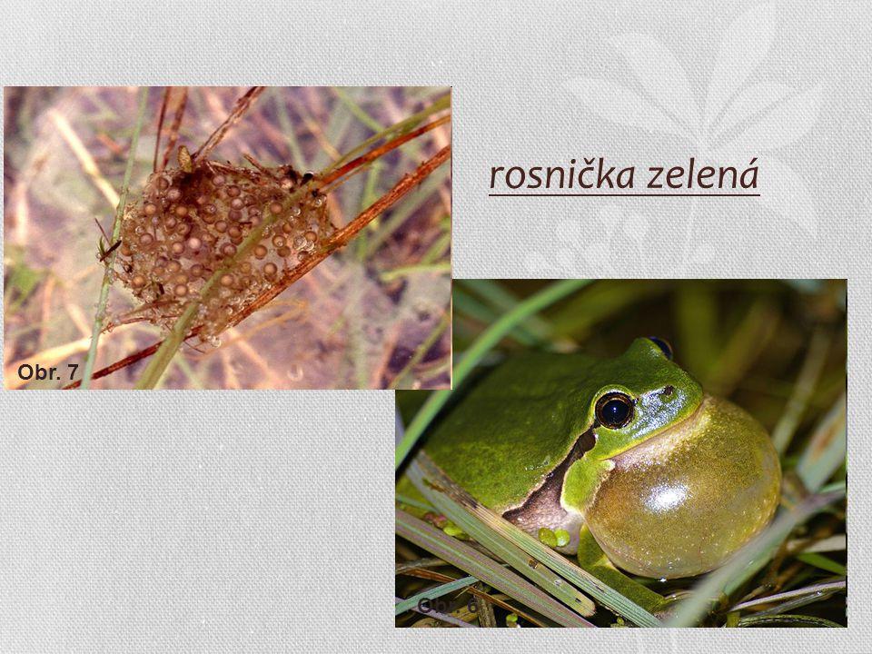 rosnička zelená Obr. 7 Obr. 6