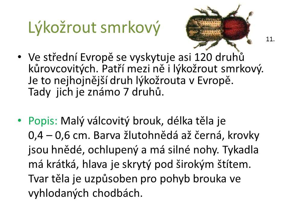 Lýkožrout smrkový Ve střední Evropě se vyskytuje asi 120 druhů kůrovcovitých. Patří mezi ně i lýkožrout smrkový. Je to nejhojnější druh lýkožrouta v E