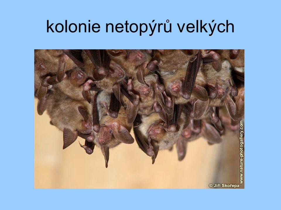 kolonie netopýrů velkých