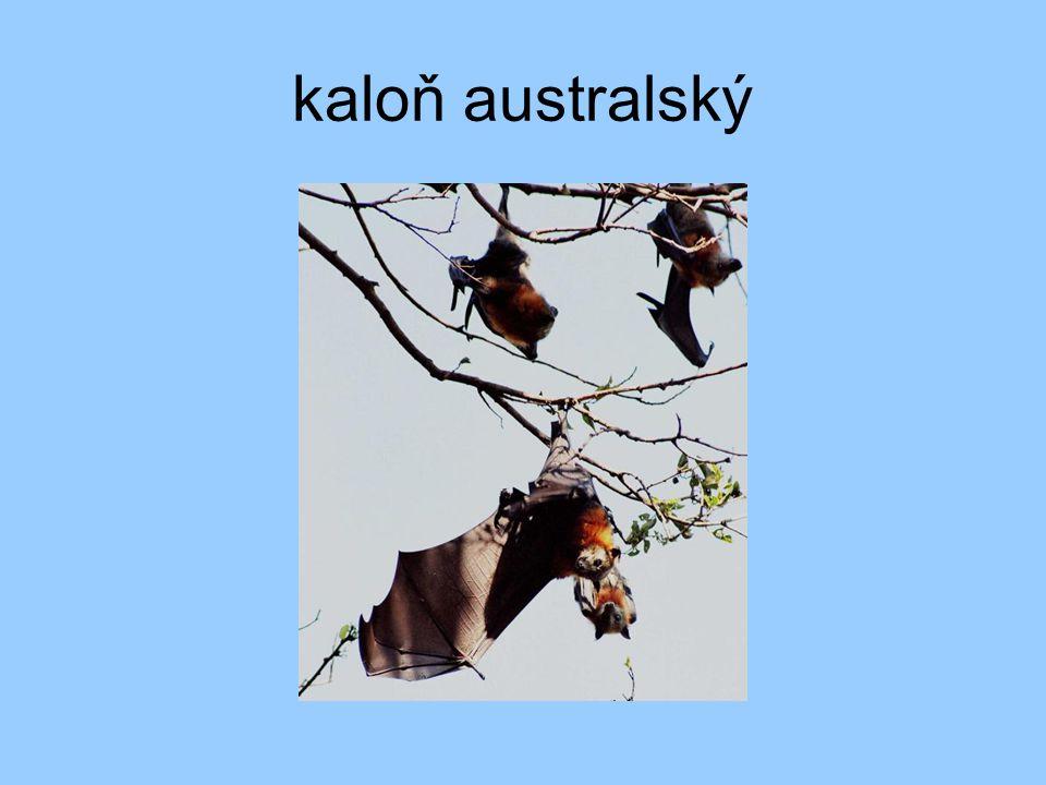 kaloň australský