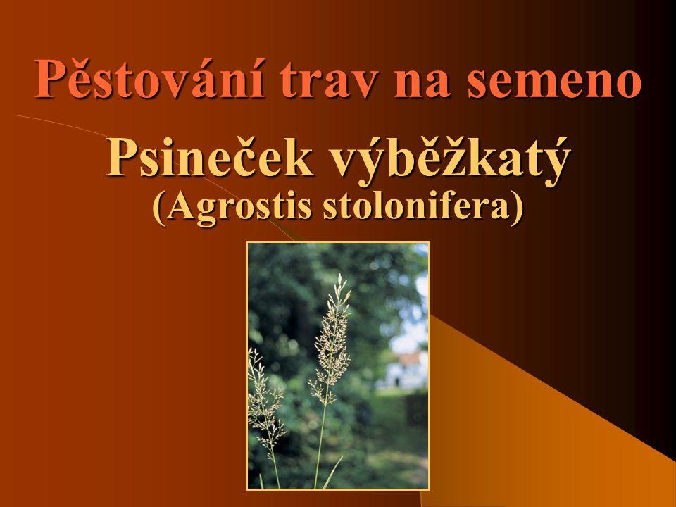 Pěstování trav na semeno Psineček výběžkatý (Agrostis stolonifera)